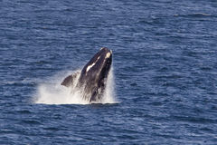 Southern right whale breaching Stock Image