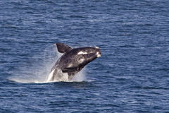 Southern right whale breaching. Southern right whale (Eubalaena australis) breaching royalty free stock images