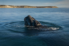 Southern Right whale Royalty Free Stock Image