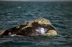 Southern right whale at Puerto Piramides in Valdes Peninsula, Atlantic Ocean, Argentina royalty free stock photos
