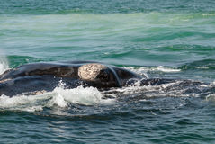 Southern right whale eye Royalty Free Stock Photography