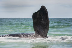 Southern right whale fin Stock Images