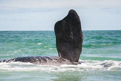 Southern Right Whale fin Royalty Free Stock Images