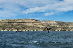 Southern Right Whale flipping its tale in the Valdes Peninsula in Argentina Royalty Free Stock Photography