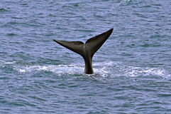 Southern Right Whale Royalty Free Stock Photo