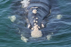 Southern right whale head. A southern right whale swimming toward me as i took the pic Stock Images