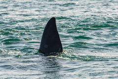 Southern Right Whale in Hermanus South Africa Stock Photo