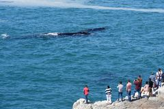 Southern Right Whale, Hermanus, South Africa. Southern Right Whale off Hermanus, South Africa. The southern right whale is a baleen whale, one of three species royalty free stock image