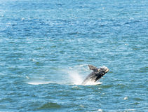 Southern Right Whale Jumping Stock Photo