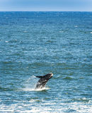Southern Right Whale Jumping Royalty Free Stock Image