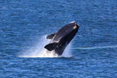 Southern Right Whale. A Southern Right Whale jumps out of the water Stock Photo