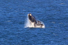 Southern Right Whale. A Southern Right Whale jumps out of the water Stock Image