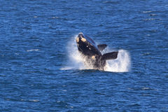 Southern Right Whale. A Southern Right Whale jumps out of the water Royalty Free Stock Photography