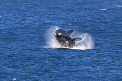 Southern Right Whale. A Southern Right Whale jumps out of the water Stock Photos