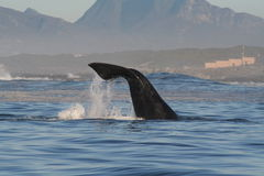 Southern right whale lobtailing. The tail of a southern right whale Stock Image