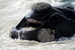 Southern right whale mouth Royalty Free Stock Image