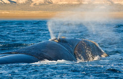 Southern right whale in Patagonia. Stock Photo