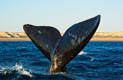 Southern right whale in Patagonia. Royalty Free Stock Images