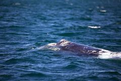 Southern right whale at Puerto Piramides in Valdes Peninsula, Atlantic Ocean, Argentina stock images