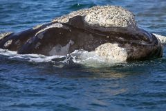 Southern right whale at Puerto Piramides in Valdes Peninsula, Atlantic Ocean, Argentina. Southern right whale Eubalaena australis in Puerto Piramides in the royalty free stock photography