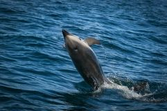 Southern Right whale royalty free stock photography