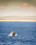 Southern Right Whale at Sunset Royalty Free Stock Photo