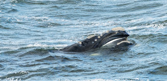 Southern Right Whale Surfaces. Its head showing its baleen stock photo