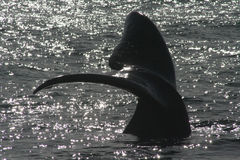 Southern right whale tail. The tail of a southern right whale Royalty Free Stock Photos
