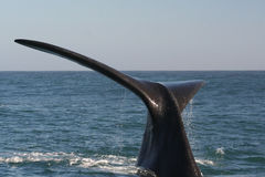 Southern right whale tail 2. A southern right whale near Hermanus, South Africa. a set of 3 pics Stock Photo