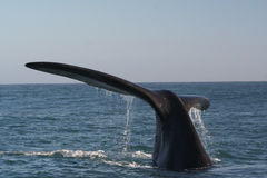 Southern right whale tail. A southern right whale near Hermanus, South Africa. a set of 3 pics Royalty Free Stock Images