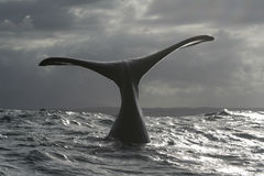 WINTERS MORN. A southern right whale near Hermanus, South Africa. a set of 3 pics Stock Photography