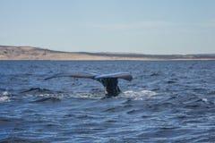 Southern right whale. A Southern right whale, at Valdes Peninsula (near Puerto Piramides), Argentina royalty free stock image