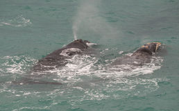 Southern right whale. S along the Nullarbor South Australia Stock Photography