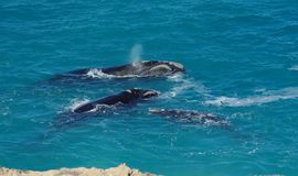 Southern right whales. At the head of the bight in south australia Royalty Free Stock Photo
