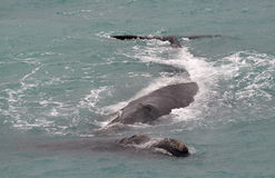 Southern right whales. Along the Nullarbor South Australia stock image