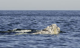 Southern Right Whales Royalty Free Stock Images