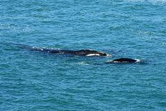 Southern Right Whale & Calf, Hermanus, South Africa. Southern Right Whales off Hermanus, South Africa. The southern right whale is a baleen whale, one of three royalty free stock image