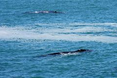 Southern Right Whales, Hermanus, South Africa. Southern Right Whales off Hermanus, South Africa. The southern right whale is a baleen whale, one of three species stock image
