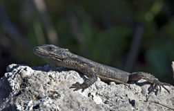 Southern Rock Agama Royalty Free Stock Photo