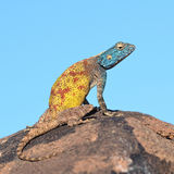 Southern rock agama. Beautiful coloured example of agama lizard, here in Namibia´s nature Royalty Free Stock Photo