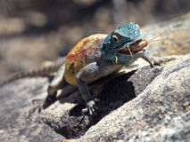 Southern rock Agama. Eating a locust Royalty Free Stock Photos