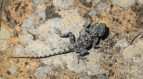 Free Southern Rock Agama Stock Photography - 86551322