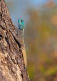 Southern Rock Agama (Agama atra). On the tree in South Africa Royalty Free Stock Photography