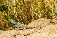 Southern rock agama Agama atra in green and blue. The southern rock agama Agama atra in the family Agamidae, in green, yellow and blue on a rock in Serengeti stock photos