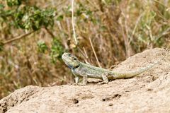 The southern rock agama Agama atra lizard. The southern rock agama Agama atra in the family Agamidae, in green, yellow and blue on a rock in Serengeti, Tanzania royalty free stock photography