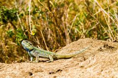 The southern rock agama Agama atra lizard. The southern rock agama Agama atra in the family Agamidae, in green, yellow and blue on a rock in Serengeti, Tanzania stock images