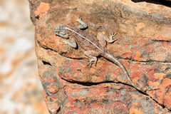 Southern Rock Agama. Basking in the sun Stock Images