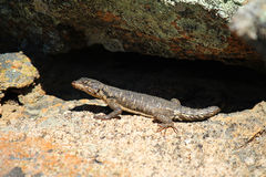 Southern Rock Agama Female Stock Photo