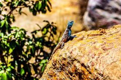 Southern Rock Agama lizard, or Agama Atra. With its blue metallic colered head on a colorful yellow-orange rock at Blyde Canyon along the Panorama Route in Stock Photo