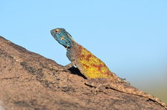 Southern rock agama in Namibia Stock Images